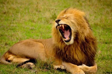 lion-692219_640