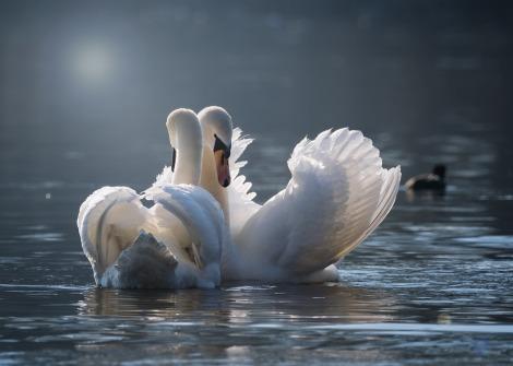 swan-4013225_960_720